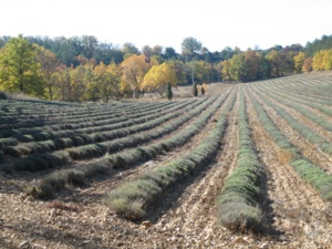 Lavender farm photo.