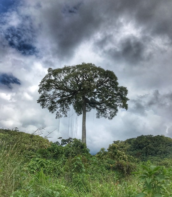 Ceiba image